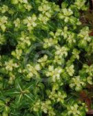 Pittosporum Gold Star