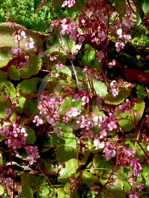 Begonia Erythrophylla | Beefsteak Begonia, Kidney Begonia ...